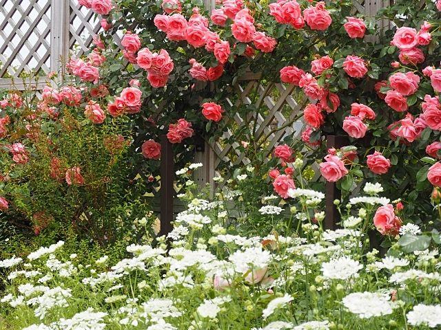 福岡市植物園の秋のバラまつりイベントの紹介です