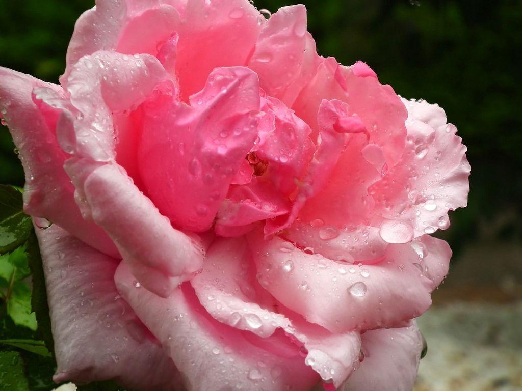 福岡市植物園、春のバラまつり開催